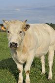 Witte koe snuit, ardennes — Stockfoto