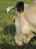 Cow head from behind — Stock Photo