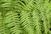 Fern leaves #2, ardennes — Stock Photo