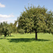 Fruit trees in field #1, baden — Stock Photo