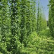 Stock Photo: Hops plantation #4, baden