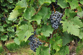 Black grapes #2, baden — Stock Photo