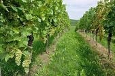 Hilly vineyard #10, baden — Stock Photo