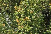 Organic apples on tree, baden — Stock Photo