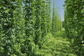Hops plantation #4, baden — Stock Photo