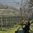 Stock Photo: Hilly vineyards, lombardy