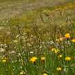 Flowering alpine meadow, switzerland — ストック写真
