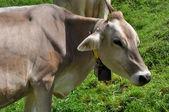 Cow pasture, lucomagno pass #3 — Stock Photo