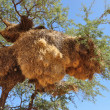 Big nest, kalahari — Stock Photo