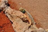 подражательный рептилий, калахари — Стоковое фото