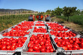 Fresh tomatoes on tractor — Foto Stock