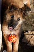 Puppy with dogs ball — Stock Photo