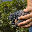 Vine grapes — Stock Photo #6823604