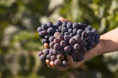 Vine grapes — Stock Photo