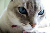 Faccia di gatto — Foto Stock
