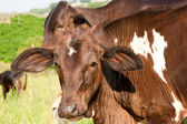 Cow in details — Stock Photo