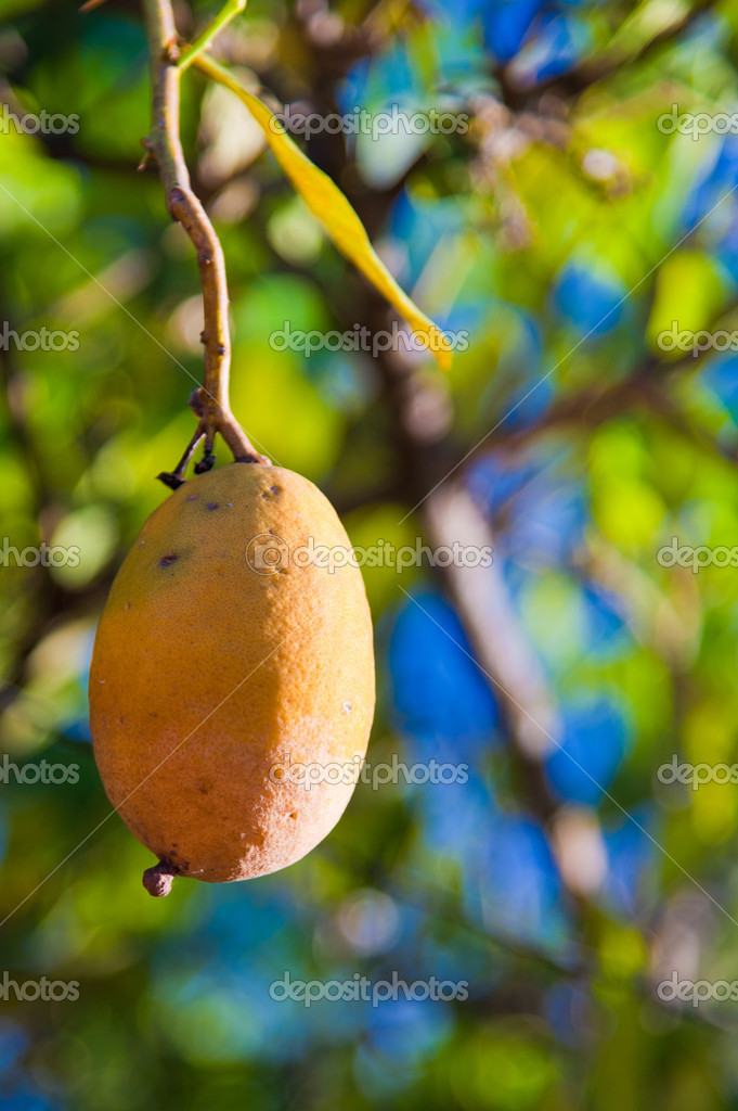 Mango fruit hanging from the tree in Brazil — Stock Photo #7523219