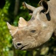 Black Rhinoceros — Stock Photo #7564873