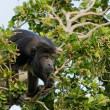 Little black monkey — Stock Photo