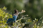 Steller's Jay — Stock Photo