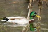 Sitting Duck — Stock Photo
