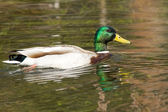 Sitting Duck — Stock Photo