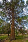 Yosemite Tree — Stock Photo