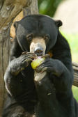 Malayan Sun Bear — Stock Photo