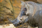 Warthog — Foto Stock