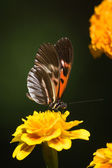 Madiera Butterfly — Stock Photo
