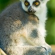 Stock Photo: Little Lemur