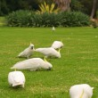 Birds on the grass — Stock Photo