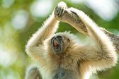 Gibbon — Foto Stock