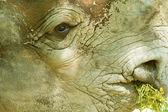 Rhinoceros' face — Stock Photo