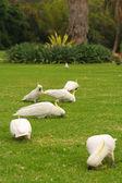 Birds on the grass — Stock Photo