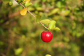 Little Red Acerola — Stock Photo