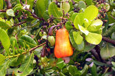Cashew Fruit — Stock Photo