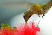 Humming bird — Stock Photo