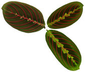 Leaves from arrowroot — Stock Photo