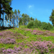 Stock Photo: Heather and Pines