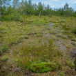 Raised bog with birchs — Stock Photo