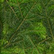Background of twigs of fir (Abies alba) — Stock Photo