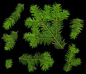 Twigs of fir (Abies alba) from the top on a black background — Stock Photo
