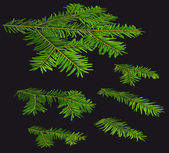 Twigs of fir (Abies) in a perspective view on a black background — Stock Photo