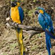 Blue and gold macaw parrot - Stock Photo