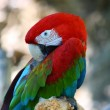 Red and green macaw parrot — Stock Photo #7147248