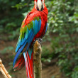 Red and green macaw parrot — Stock Photo #7147634