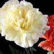 Stock Photo: Carnation