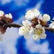 Apricot blooms — Stock Photo #7809733