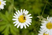 白色雏菊的多年生植物 — 图库照片